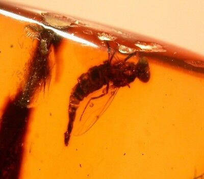 Strange Fly with Elongated Abdomen in Burmite Amber Fossil from Dinosaur Age