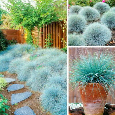 100 Blue Fescue Grass Seeds Festuca Glauca Hardy Bonsai Plants To Decor Garden🌱