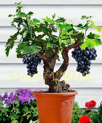 50 🍇 Miniature Grape Vine Seeds 🍇Rare Viable Fruit Bonsai Plants Organic Seeds