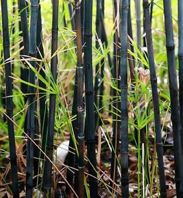 50 Rare Black Bamboo Seeds Privacy Plant Garden Clumping Exotic Shade Screen