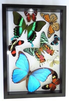 9 Real Framed Butterflies  Mounted Black Frame Double Glass Amazing Butterflies