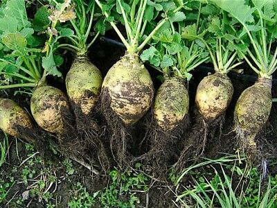 "Rutabaga, Swede, Neep ""Seaside"" - 3500 seeds"