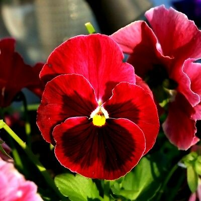 Large flowered  garden pansy - red with black dot - 400 seeds