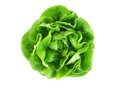 "Lettuce ""Saba"" - for all-year cultivation - 900 seeds"