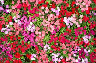 Fainbow pink - variety selection; China pink - 1100 seeds
