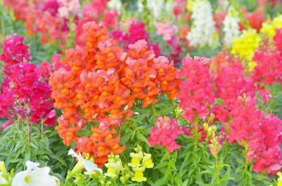 Common snapdragon - low growing variety - 3700 seeds