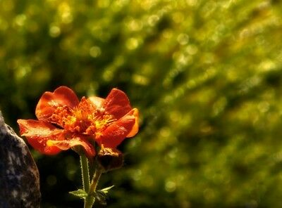 Scarlet avens, Chilean avens, double bloody mary - 135 seeds