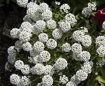 Sweet alyssum, sweet allison - white variety - 1750 seeds