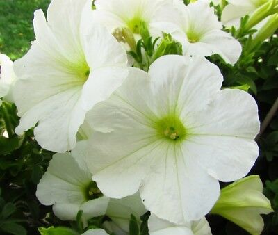 White large-flowered petunia - 80 seeds