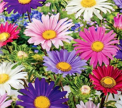 "Aster ""Madeleine"" - single-flower variety mix - 500 seeds"