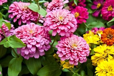 "Large-flowered zinnia ""Super Yoga"" - 120 seeds"