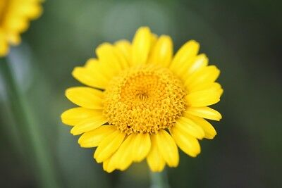 Golden marguerite; yellow chamomile, oxeye chamomile  - seeds