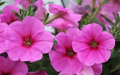 Pink large-flowered petunia - 80 seeds