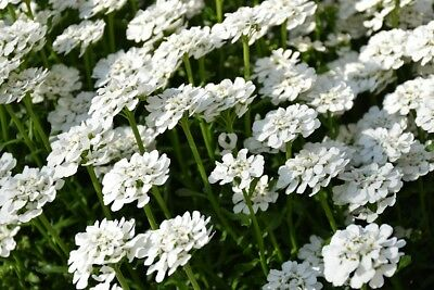 Hyacinth–flowered rocket candytuft; bitter candytuft, - - 400 seeds