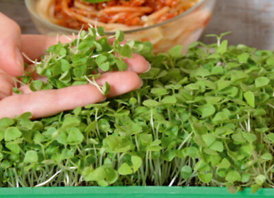 "Microgreens - Green basil ""Sweet Large"" - young leaves - - 1950 seeds"