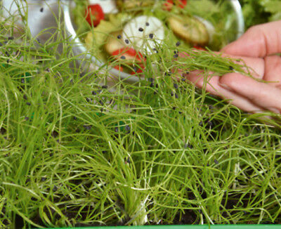 Microgreens - Winter onion - young leaves with exceptional taste  - seeds