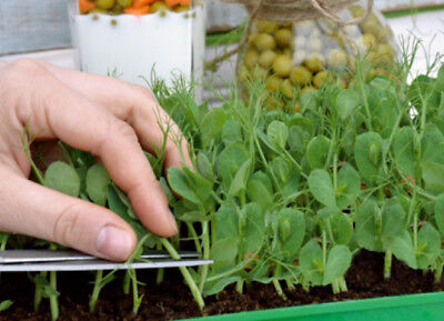 """Microgreens - Pea """"Boogie"""" - young leaves with exceptional taste  - seeds"""