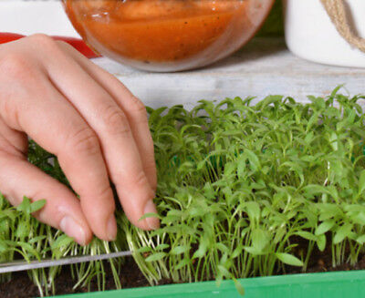 Microgreens - Coriander - young leaves with exceptional - - 400 seeds