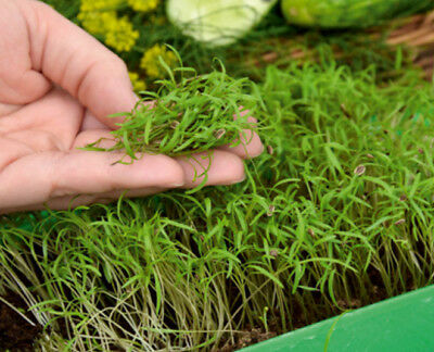 Microgreens - Garden dill - young leaves with taste - - 1680 seeds
