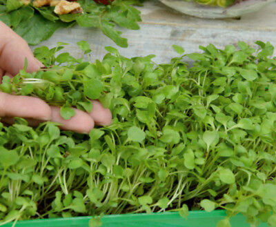 Microgreens - Rocket, arugula - young leaves with taste - - 800 seeds