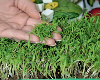 Microgreens - Spinach - young leaves with exceptional - - 800 seeds