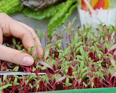 Microgreens - Mangold - young leaves with exceptional - - 450 seeds