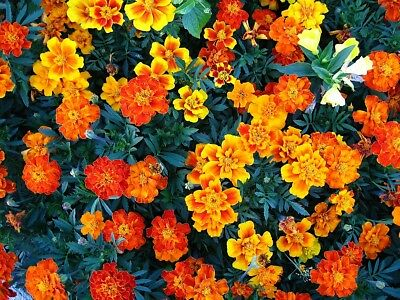 French marigold - single-flower variety mix - 350 seeds