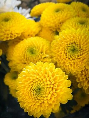 Yellow pompom-flowered aster - 500 seeds