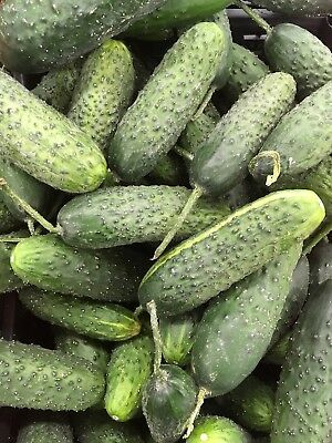 "Cucumber ""Sremianin F1"" - very early, highly productive field variety  - seeds"
