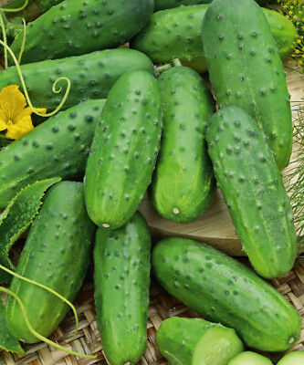 "Cucumber ""Tarot F1"" - field variety yielding early rich - - 175 seeds"