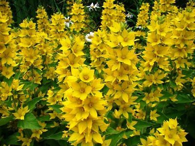 Dotted loosestrife, Large yellow loosestrife, Spotted - - 900 seeds