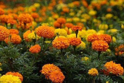 Mexican marigold - scentless variety mix - 300 seeds