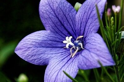 Blue Balloon flower; Chinese bellflower, platycodon - 220 seeds