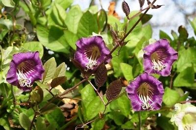 Purple Cup and Saucer Vine  - Cobaea scandens - 6 seeds