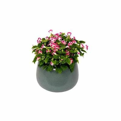 Catalina Pink Torenia, Wishbone Flower seeds - Torenia fournieri