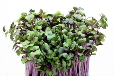 BIO - Red cabbage sprouting  - certified organic seeds - - 2700 seeds