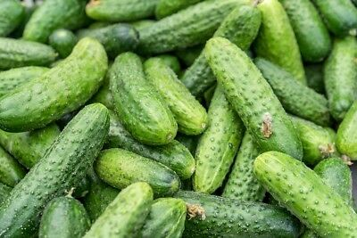 "Cucumber ""Edyp F1"" - medium early variety with high resistance to diseases - 105"