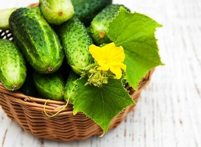 "Cucumber ""Ibis F1"" - field, early variety that tolerates low temperatures - 105"