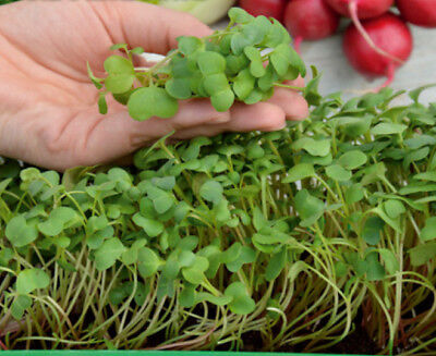 Microgreens - Red radish - young leaves with an unique taste  - seeds