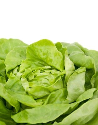 "Butterhead lettuce ""Ewelina"" - with smooth and tasty - - 1000 seeds"