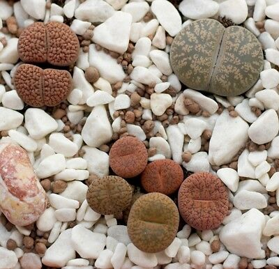 Living Stones, Pebble Plant  - Lithops sp. - 50 seeds