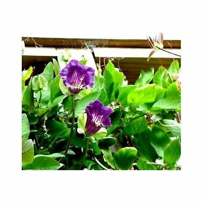 Blue Cup and Saucer Vine  - Cobaea scandens - 13 seeds