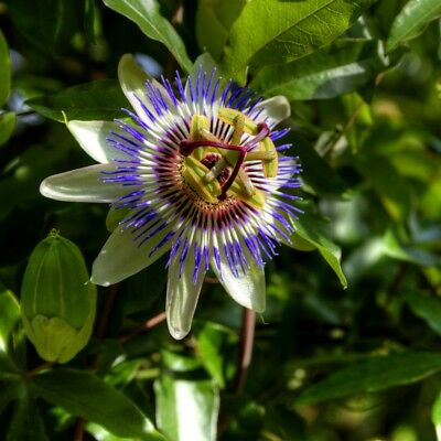 The Blue Passion Flower  - Passiflora caerulea - 22 seeds