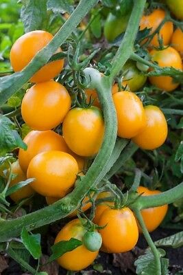 """Tomato """"Akron"""" - orange-red variety for greenhouse and tunnel cultivation"""
