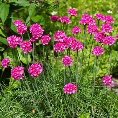 Large flowered sea thrift - variety mix - 100 seeds