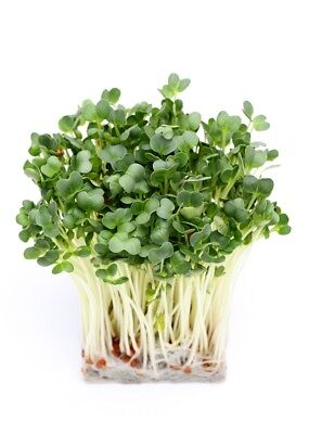 BIO Sprouting  - Radish - certified organic seeds - 1700 seeds