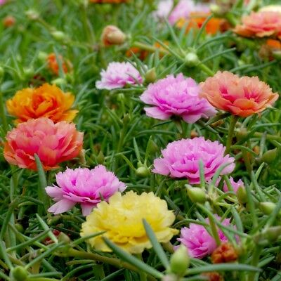 Moss Rose Double Mix - Portulaca grandiflora fl.pl. - - 4500 seeds