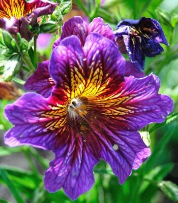 Painted Tongue mixed  - Salpiglossis sinuata - 2250 seeds