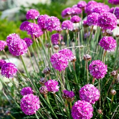 Sea Thrift, Sea Pink  - Armeria maritima - 90 seeds
