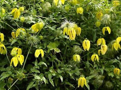 Clematis Golden Tiara, Russian Virgin's Bower  - Clematis - - 60 seeds